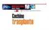 MEDICINA PARA TODOS: Cochino trasplante